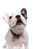 Alert little french bulldog puppy barking Stock Images