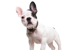 Alert little french bulldog puppy standing Royalty Free Stock Image