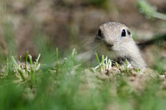 Alert Little Ground Squirrel Peeking Over the Edge of Its Home Stock Photos
