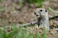 Alert Little Ground Squirrel Peeking Over the Edge of Its Home. While On Guard royalty free stock image