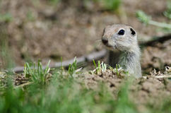 Alert Little Ground Squirrel Peeking Over the Edge of Its Home Stock Image