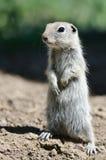 Alert Little Ground Squirrel Standing Guard Over Its Home. Adorable Little Ground Squirrel Standing Guard Over Its Home royalty free stock images