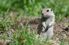 Alert Little Ground Squirrel Standing Guard Over Its Home. Adorable Little Ground Squirrel Standing Guard Over Its Home stock photography
