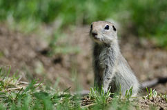 Alert Little Ground Squirrel Standing Guard Over Its Home Stock Images