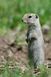 Alert Little Ground Squirrel Standing Guard Over Its Home. Alert Cute Little Ground Squirrel Standing Guard Over Its Home royalty free stock photography