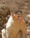 Alert little monkey Royalty Free Stock Photography