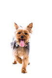 Alert little Yorkie standing facing the camera Stock Photos