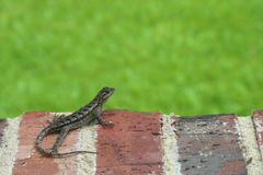 Alert lizard on brick window sill royalty free stock photos
