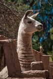 Alert llama stretching up to peer over a fence royalty free stock image