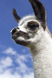 Alert llama. White llama puppy with an alert expression Royalty Free Stock Photos