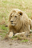 Alert white lion Stock Image