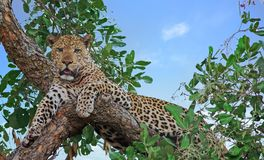 Old Male Leopard resting in a tree with nice blue sky background, south luamgwa national park, zambia. Alert looking male african leopard panthera pardus Royalty Free Stock Images