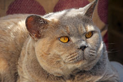 Alert looking pedigree cat royalty free stock image