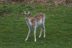 Alert male Fallow deer Royalty Free Stock Images