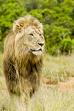 Alert male lion standing in long grass Stock Photo