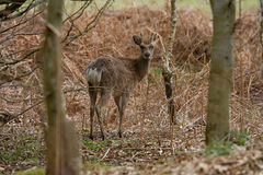 An alert male Sika deer. Photo of a male Sika deer looking over his shoulder Royalty Free Stock Photos