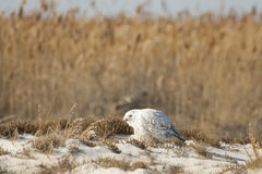 Alert Male Snowy Owl on Beach Looking Around. Leaning forward to survey its surroundings, this camouflaged male Snowy Owl migrated south for the winter and makes Stock Photos