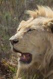 Alert Male White Lion Portrait Royalty Free Stock Image