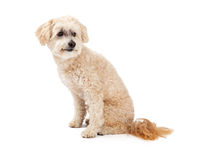 Alert Maltese and Poodle Mix Dog Sitting. An alert Maltese and Poodle Mix Dog sitting at an angle and looking sideways Royalty Free Stock Image