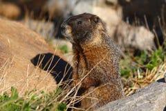 Alert Marmot Royalty Free Stock Photos