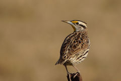 Meadow lark on fence post Stock Image