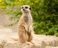 Alert Meercat Stock Photos