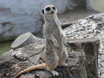 alert meerkat Arkivfoton