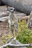 alert meerkat Arkivbild