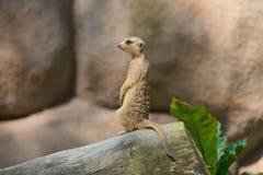 Alert meerkat Stock Photos