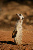 Alert meerkat Royalty Free Stock Photo