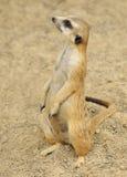 alert meerkat arkivbilder