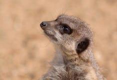 An alert meerkat Stock Image