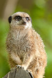 An alert meerkat Stock Photos
