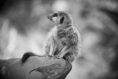 Meerkat II. An alert Meerkat poised on the edge of a boulder is deciding whether the impending danger is worth running from Stock Photos
