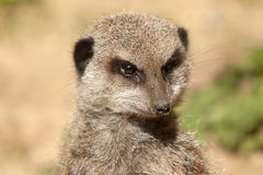 Alert Meerkat Stock Photography