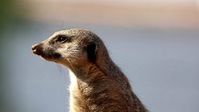Alert Meerkat Sentry Royalty Free Stock Photography