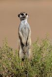 Alert meerkat, South Africa Stock Photos
