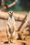 Alert meerkat standing on guard. South Africa Royalty Free Stock Photos