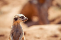 Alert meerkat standing on guard Royalty Free Stock Photography
