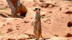 Alert meerkat standing on guard stock video