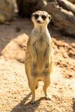 Alert meerkat standing on guard Royalty Free Stock Photos