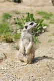 Alert meerkat standing on his back legs Royalty Free Stock Image