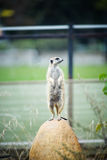 Alert meerkat standing Royalty Free Stock Photos