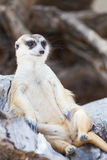 Alert meerkat (Suricata suricatta) sitting and relax on tree as Royalty Free Stock Photos