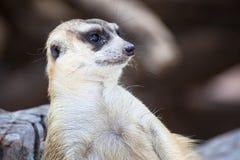 Alert meerkat (Suricata suricatta) sitting and relax on tree as Stock Photo