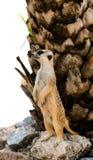 Alert meerkat Stock Photo