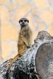 Alert meerkat Royalty Free Stock Photography