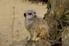 Alert meerkat (Suricata suricatta). Standing on guard Royalty Free Stock Photos