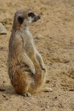 Alert meerkat (Suricata suricatta). Standing on guard Stock Photo