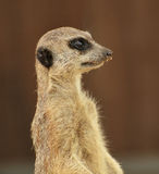 Alert meerkat Royalty Free Stock Photos